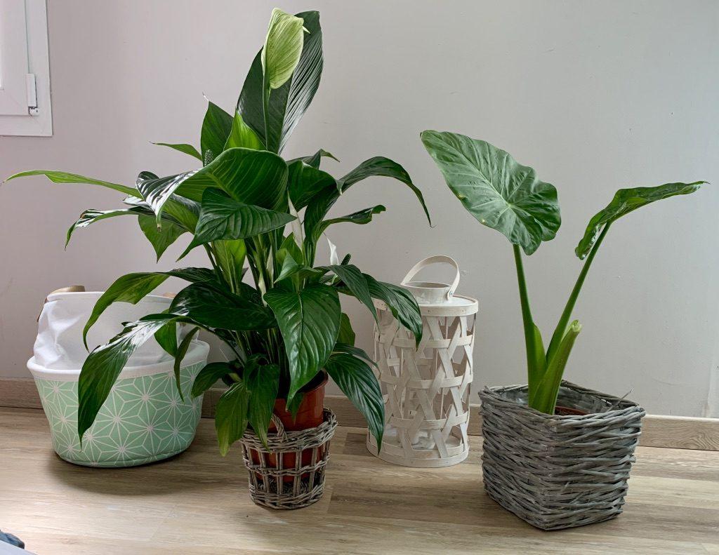Plantes vertes dépolluantes
